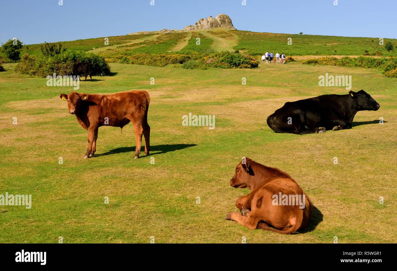 Cattle resting below Haytor Rocks on Dartmoor. - Stock Image