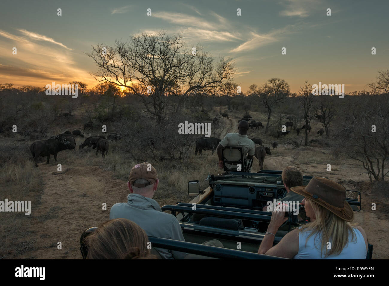 Tourists on safari in a jeep watching a herd of buffalo at sunset in the bushveld of the Greater Kruger National Park, South Africa - Stock Image