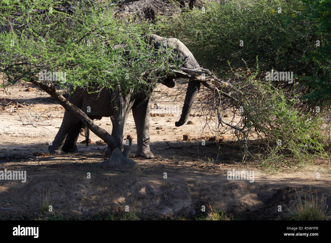 Elephant breaking branch on a tree in the bushveld to reach juicier leaves and wood due to the water shortages in South Africa - Stock Image
