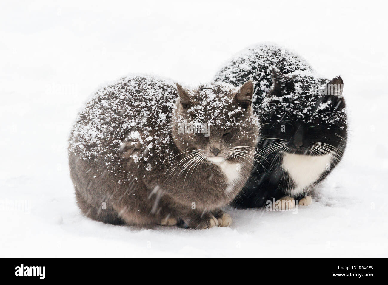 two beautiful cats are sitting on the snow in time of blizzard - Stock Image