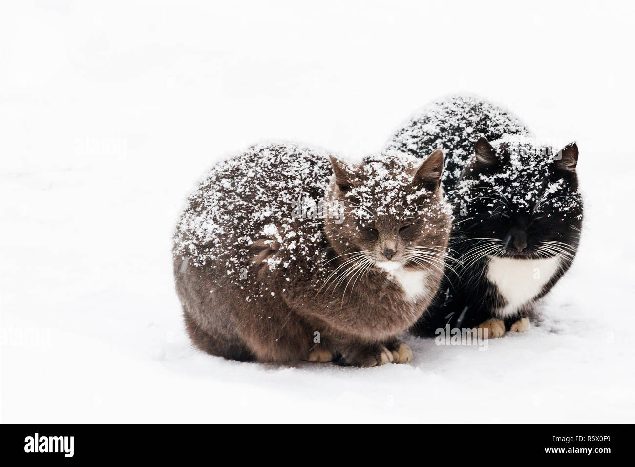 two cats are sitting on the snow in time of blizzard - Stock Image