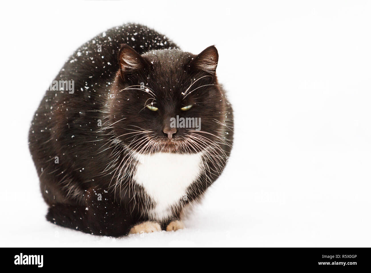 winter black cat with white mustache sitting in the snow - Stock Image
