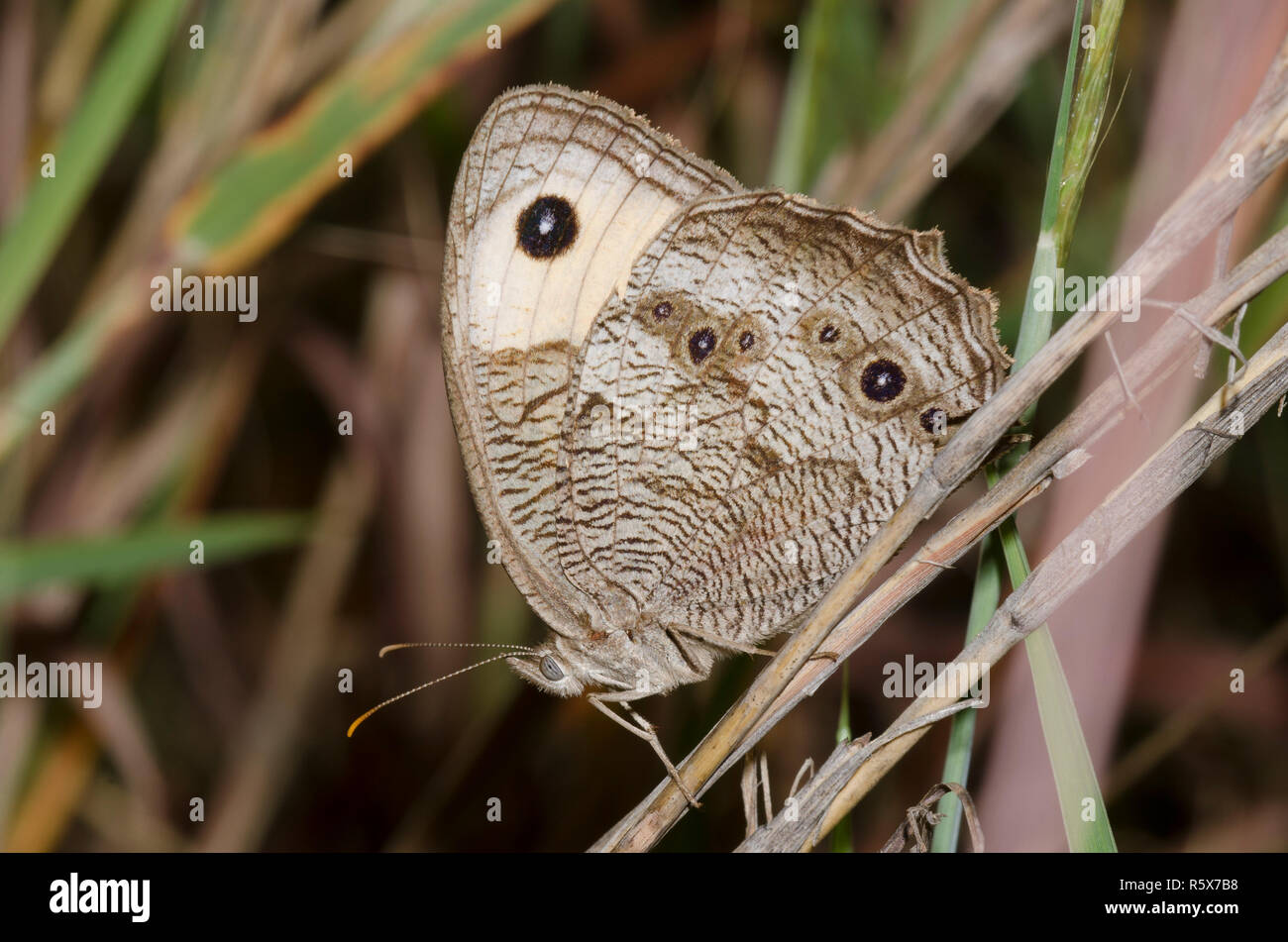 Wood Nymph Stock Photos & Wood Nymph Stock Images - Alamy