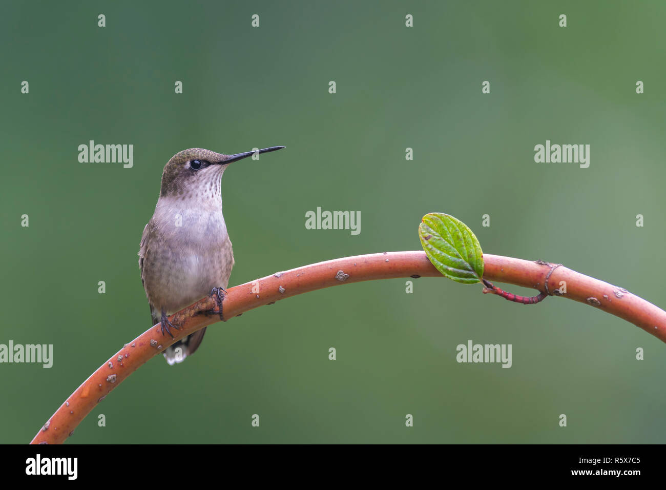 Ruby-throated Hummingbird (Archilochus colubris) female, perched, E USA, by Dominique Braud/Dembinsky Photo Assoc Stock Photo