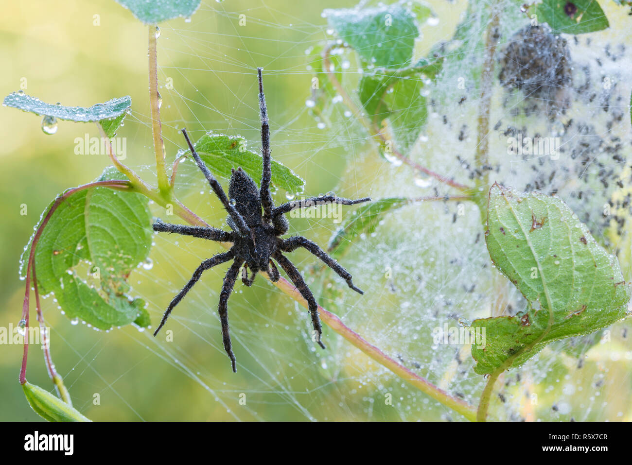 Dark Fishing Spider (Dolomedes tenebrosus), Nursery web spider, MN, USA, by Dominique Braud/Dembinsky Photo Assoc - Stock Image