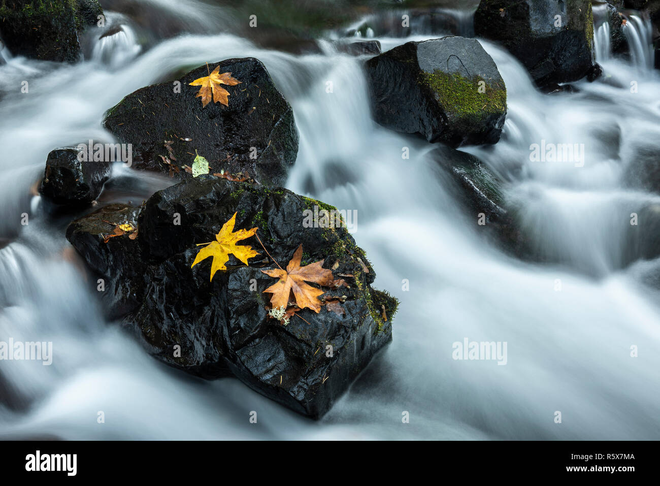 Bigleaf maple (Acer macrophyllum) leaves on rocks, Bridal Veil Creek, October,  Multnomah County, OR, USA, by Dominique Braud/Dembinsky Photo Assoc - Stock Image