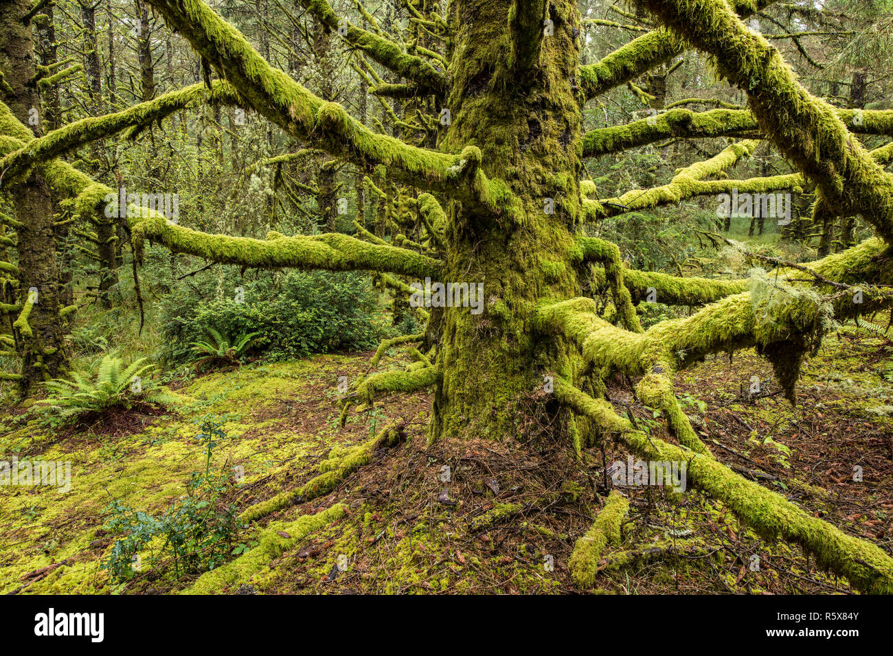 Hemlock forest with holly and sword ferns, Fort Stevens State Park, October, OR, USA, by Dominique Braud/Dembinsky Photo Assoc - Stock Image