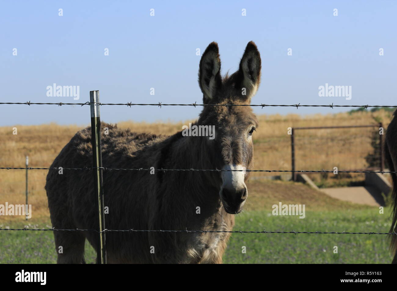 Mule in a Pasture with a fence and blue sky - Stock Image