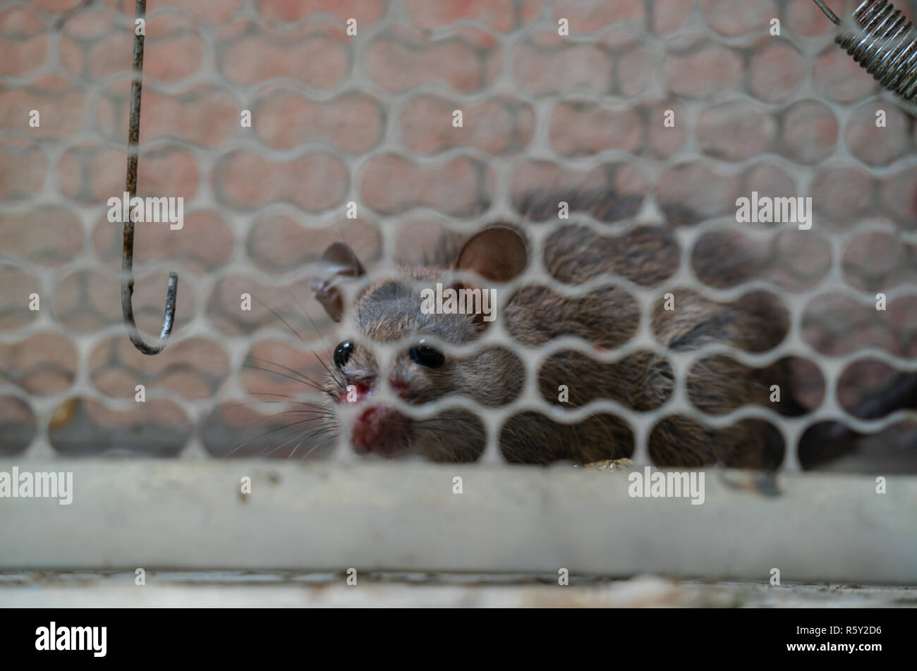 fearful mice trapped in a  rat cage Stock Photo