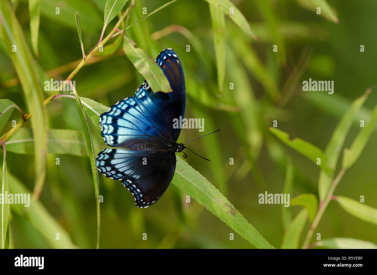 Red-spotted Purple, Limenitis arthemis astyanax, perched in larval food plant, black willow, Salix nigra - Stock Image