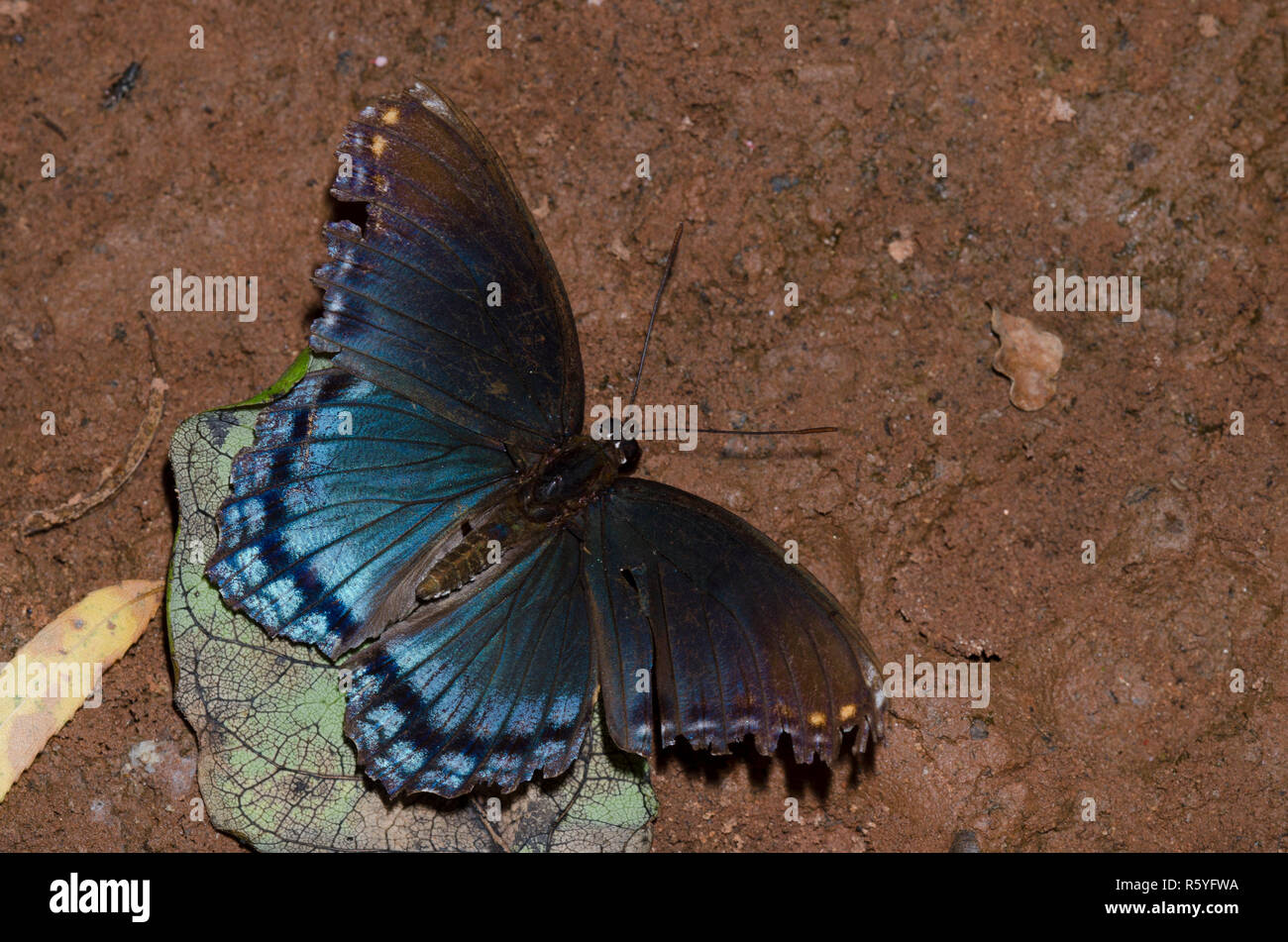 Red-spotted Purple, Limenitis arthemis astyanax, mud-puddling, worn and tattered individual - Stock Image
