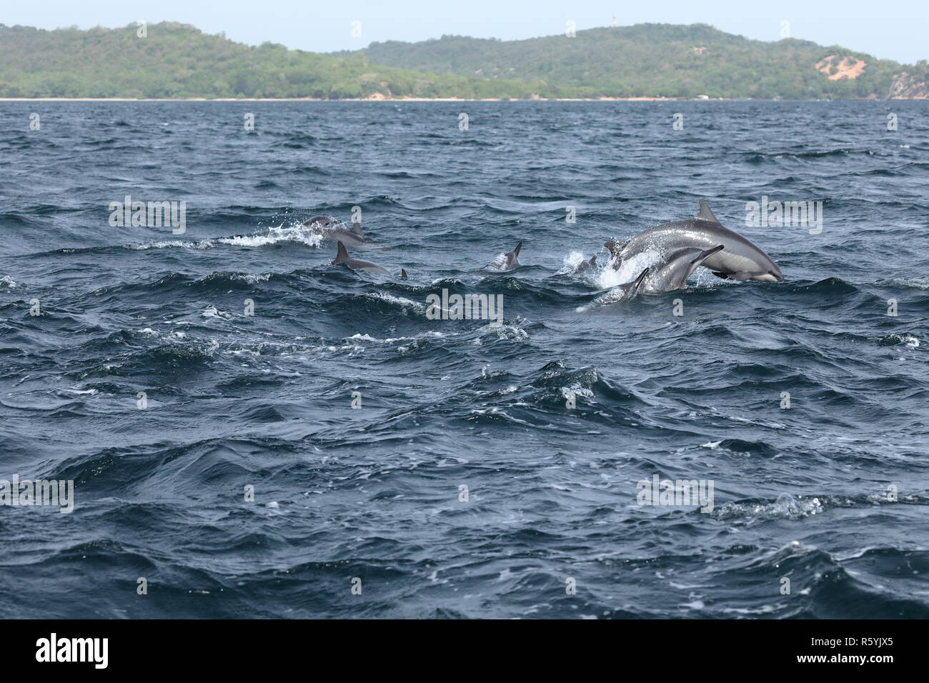 dolphins at trincomalee sri lanka in the indian ocean - Stock Image