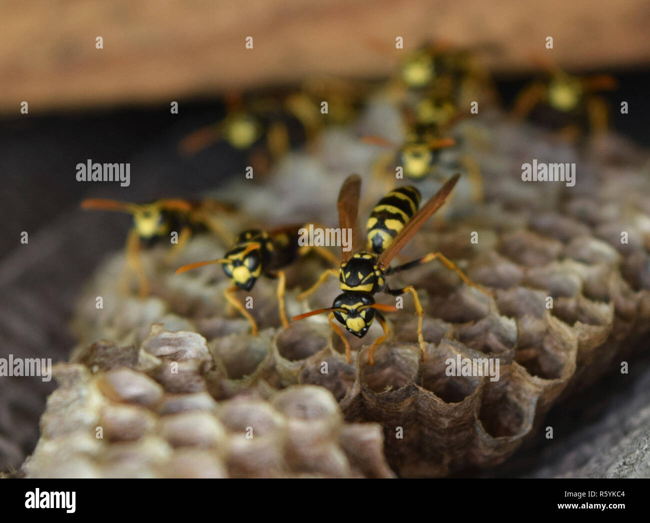 Wasp nest with wasps sitting on it. - Stock Image