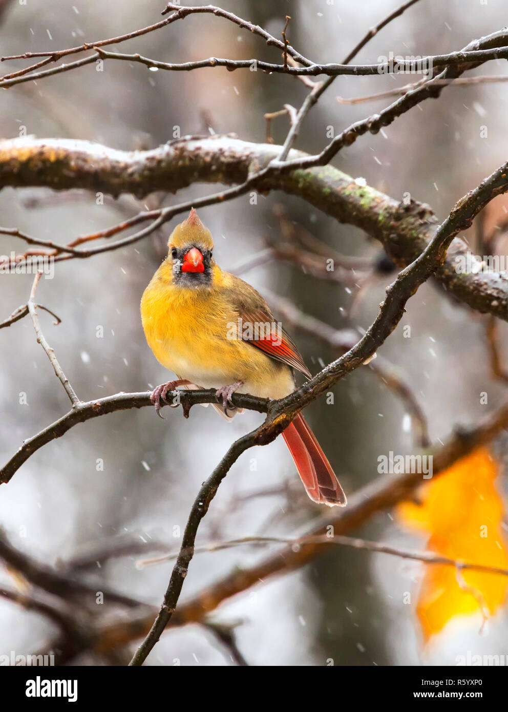 Female Northern Cardinal perched on the tree branch during blizzard at Jester Park, Iowa, USA Stock Photo