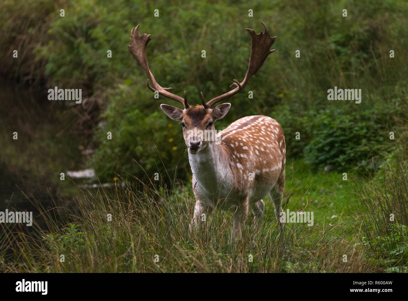 picture of deer - Stock Image