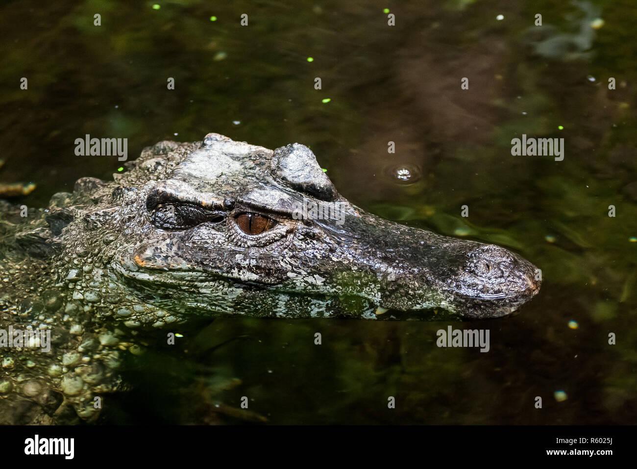 close-up of a straightforward caiman - Stock Image