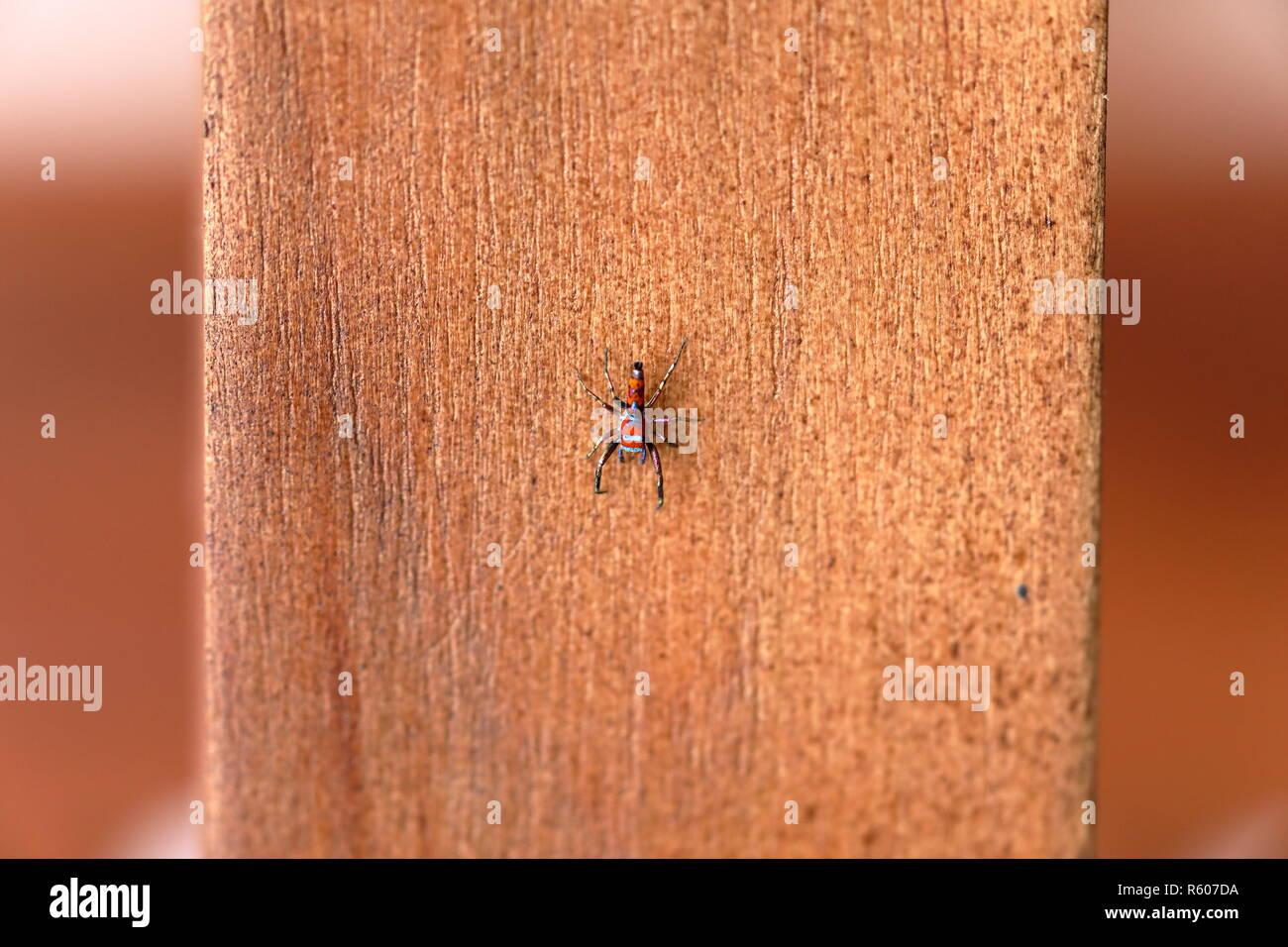 colorful beruwela jumping spider in sri lanka - Stock Image