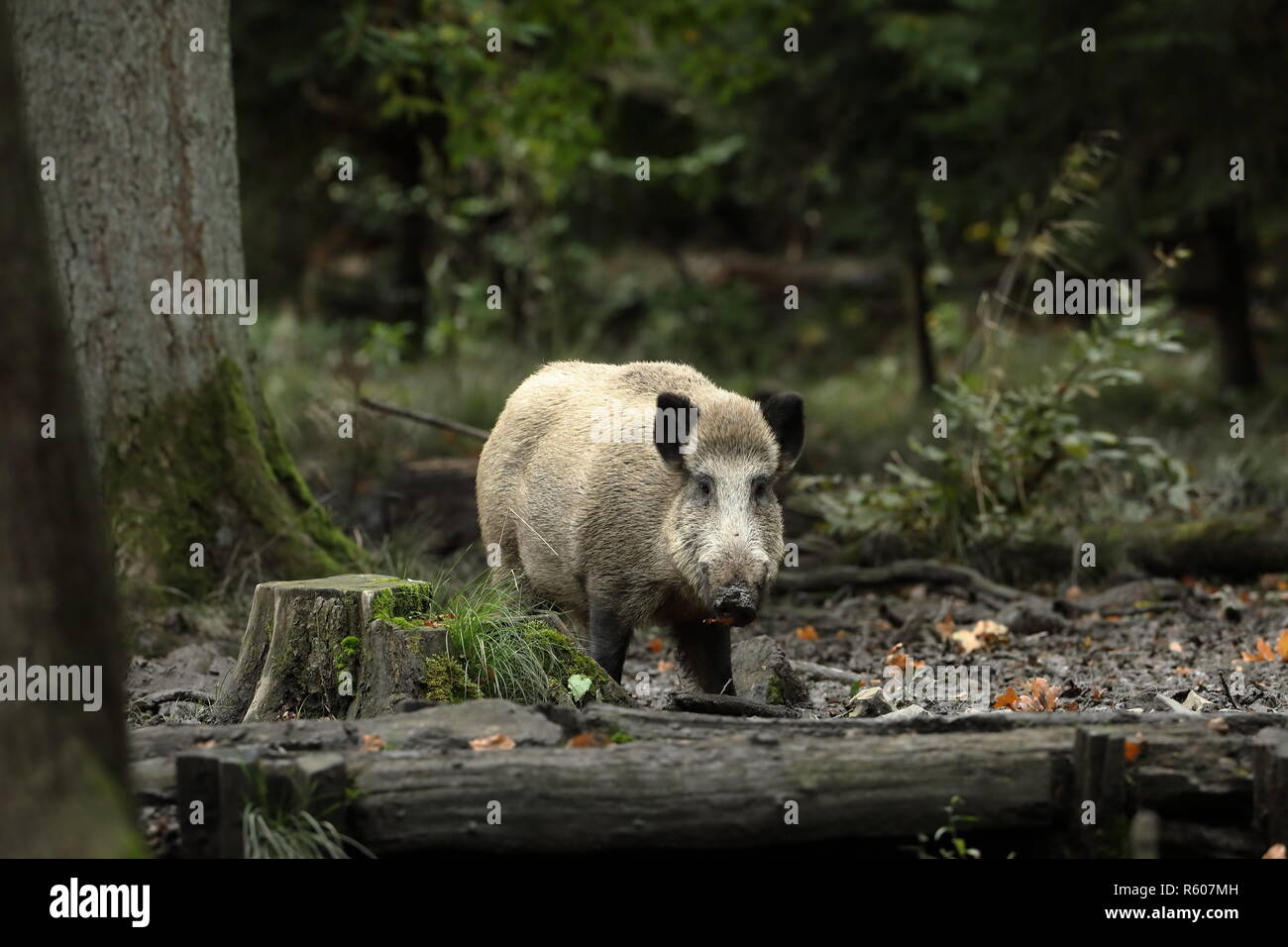 wild boar in the forest - Stock Image