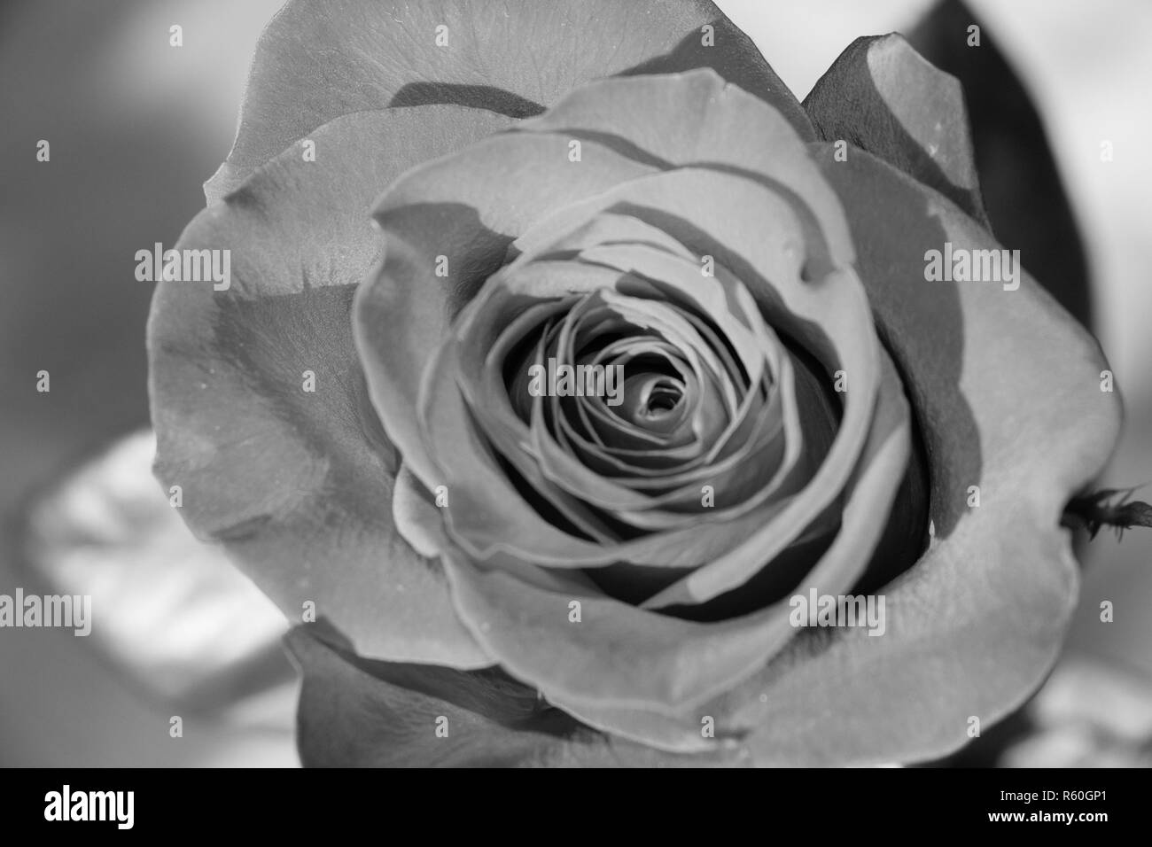 Gay black rosebud