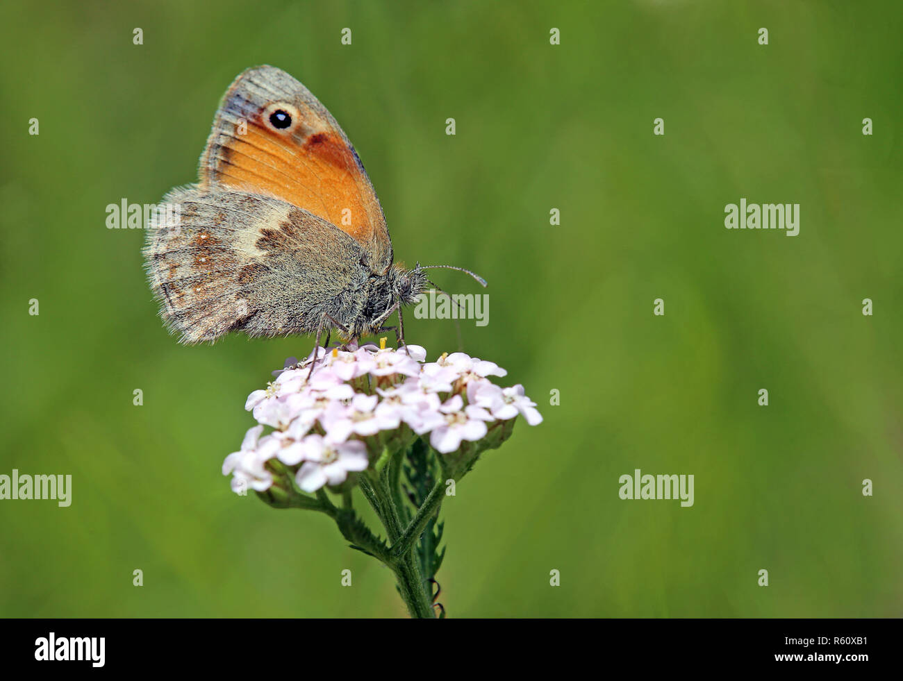 small meadow bird coenonympha pamphilus - Stock Image