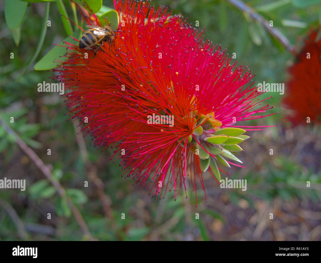 closeup of the blossom of a cylinder cleaner Stock Photo