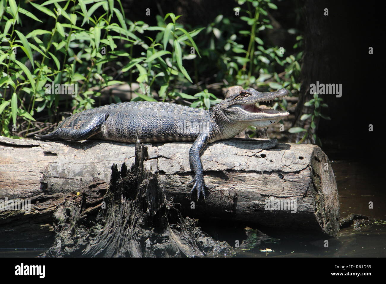 mississippi alligator sunbathes on a tree stump - Stock Image