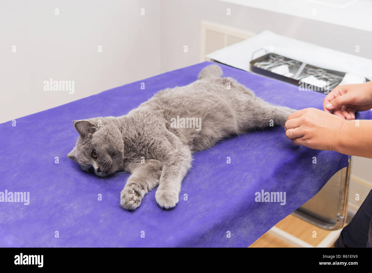Cat under anesthesia before surgery on an operating table. - Stock Image