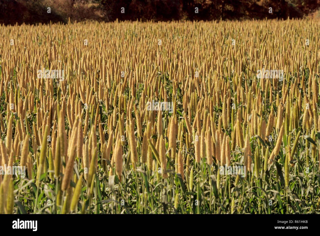bajra crop, india - Stock Image