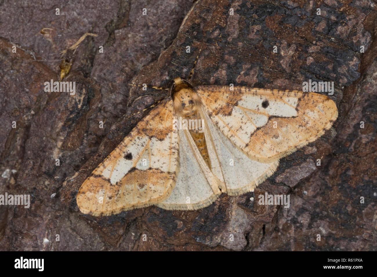 Großer Frostspanner, Männchen, Erannis defoliaria, Phalaena defoliaria, Hybernia defoliaria, Mottled Umber, male, L'Hibernie défeuillante, Spanner - Stock Image