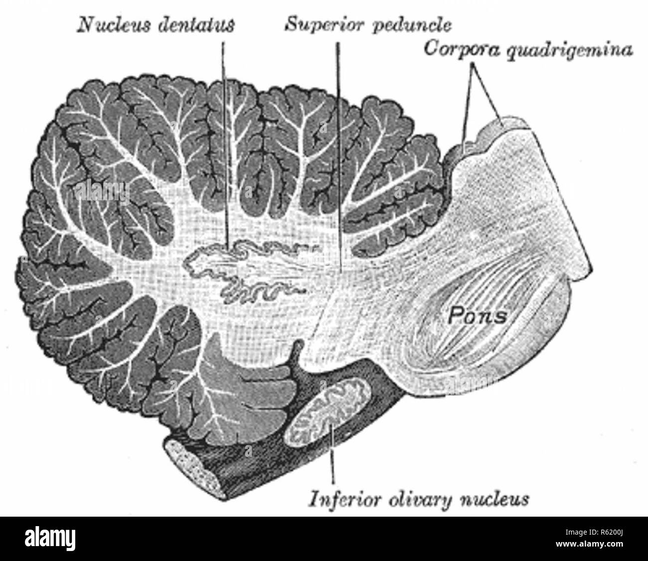 Sagittal section through right cerebellar hemisphere. The right olive has also been cut sagittally. - Stock Image