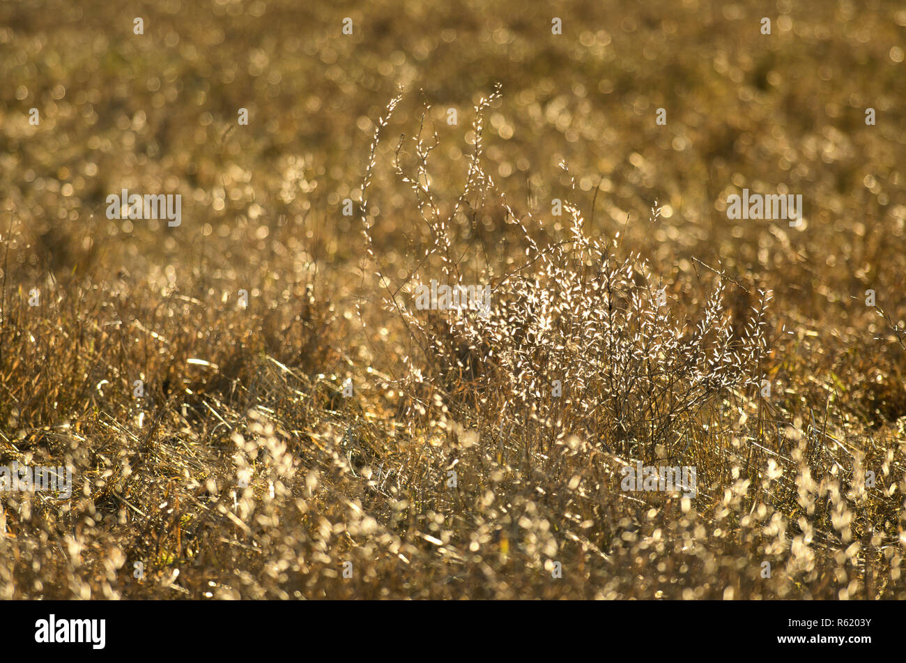 Icy glowing tips of dry stalks meadow herbs on the golden blurred background - Stock Image