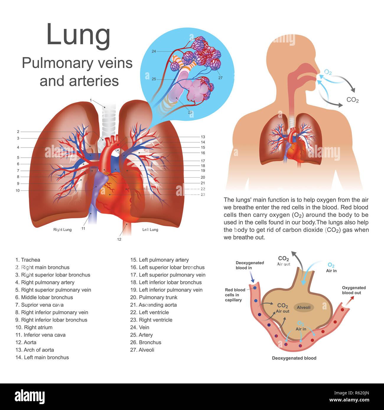 Pulmonary Artery Stock Photos Pulmonary Artery Stock Images Alamy