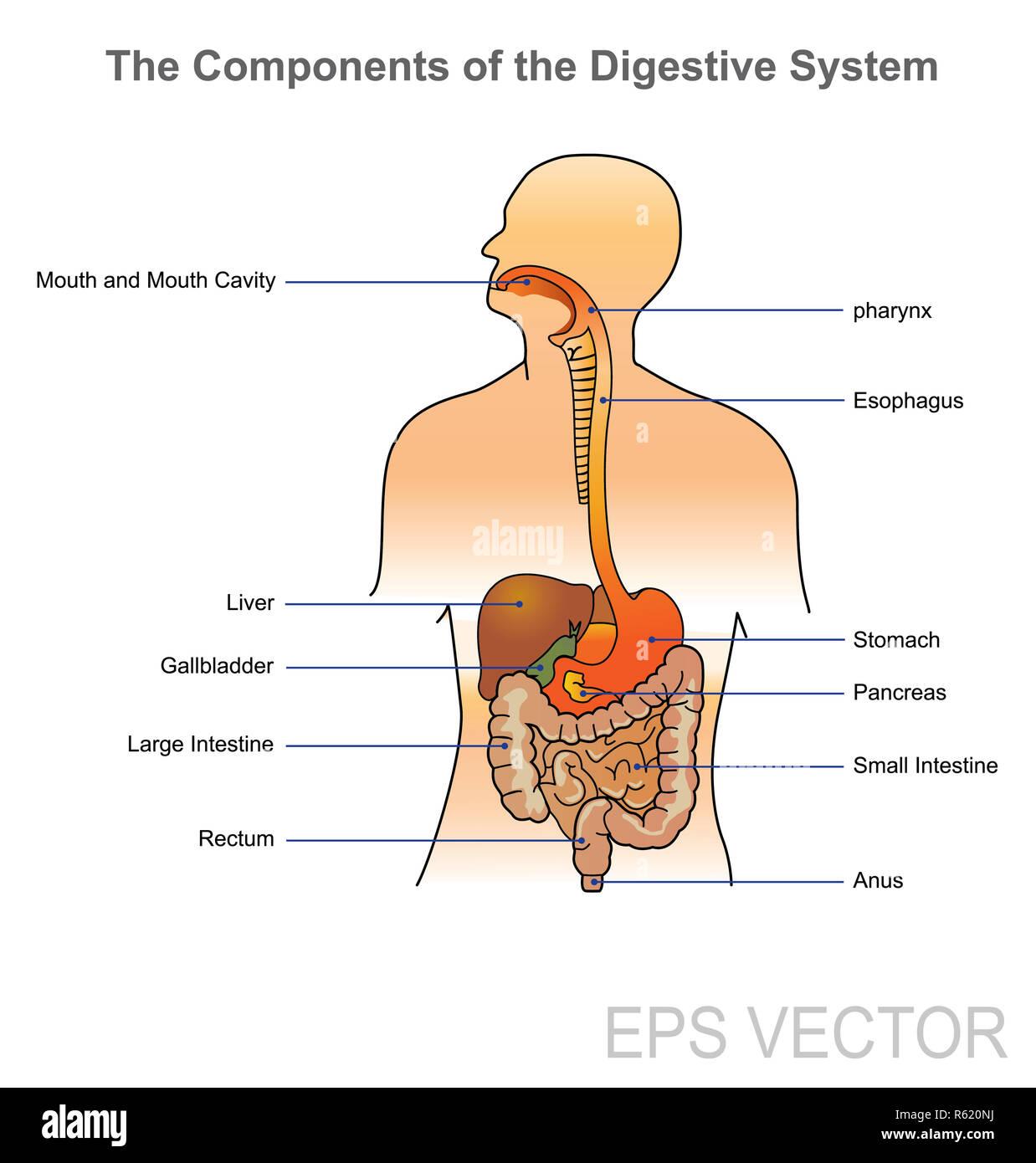 The Human Digestive System Illustration Anatomy Body Stock Photo