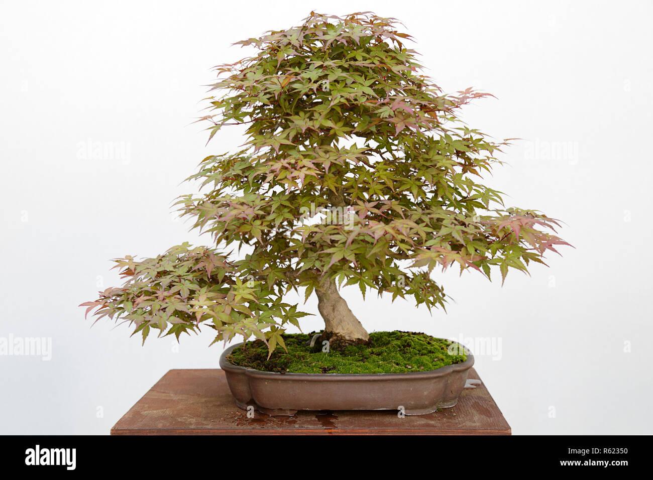 Japanese Maple Acer Palmatum Bonsai Stock Photos Japanese Maple