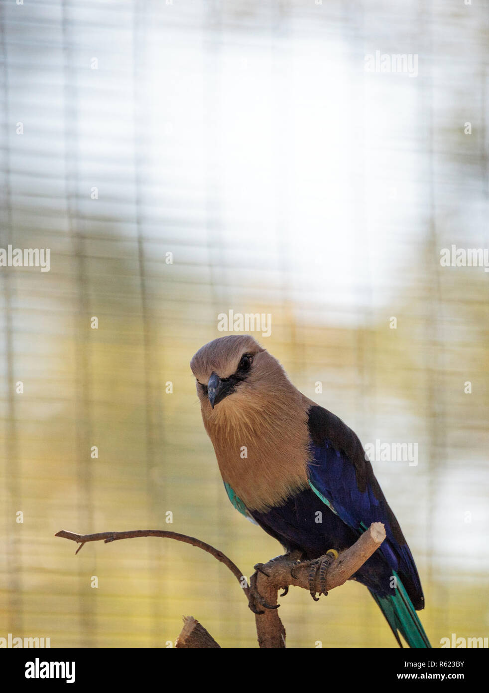 Blue-bellied roller called Coracias cyanogaster - Stock Image