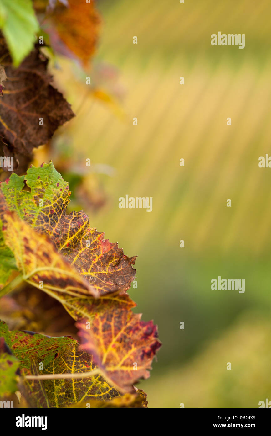 autumn vine Stock Photo