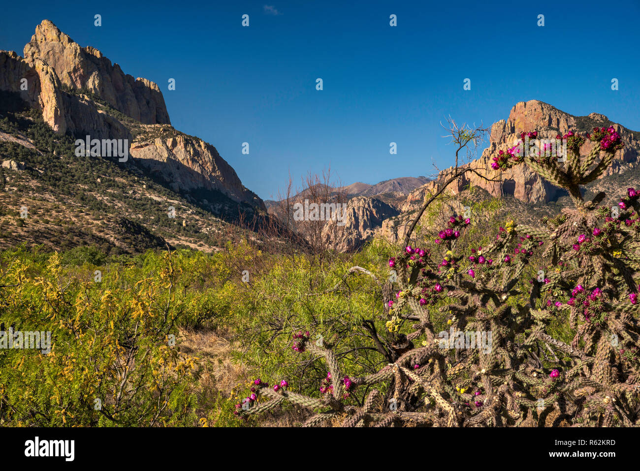 Buckhorn cholla cactus in bloom, Cathedral Rock on left, Cave Creek Canyon in distance, Chiricahua Mountains, view near Portal, Arizona, USA Stock Photo