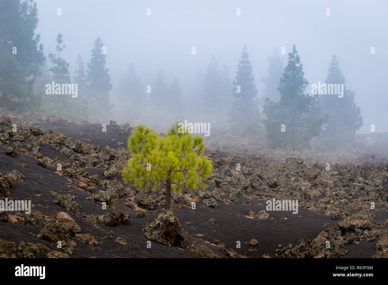 Forest in the fog at Chinyero volcano - Stock Image
