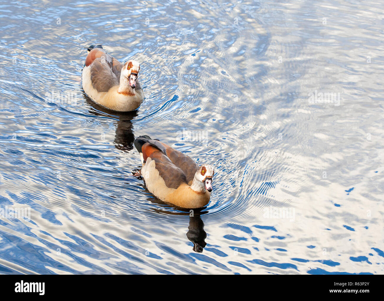 two ducks on the pond in Clissold Park, Stoke Newington, North London, UK, Hackney, England Stock Photo