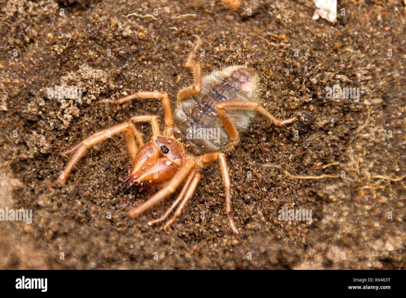 The Solifuge, or Roman Spider is an active predator at night and though it resembles a spider it has neither venom nor silk - Stock Image