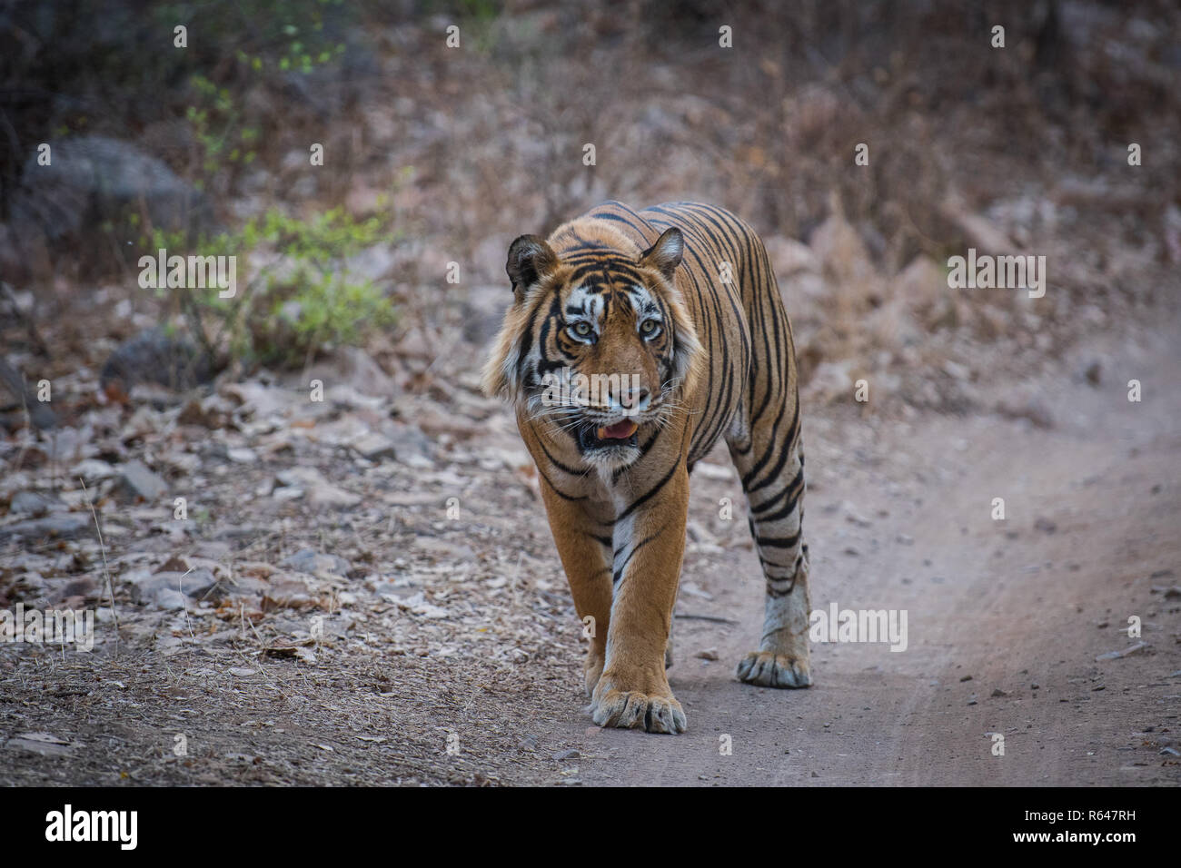 A dominant male tiger from Ranthambore Tiger Reserve on an evening stroll and growls for his cubs - Stock Image