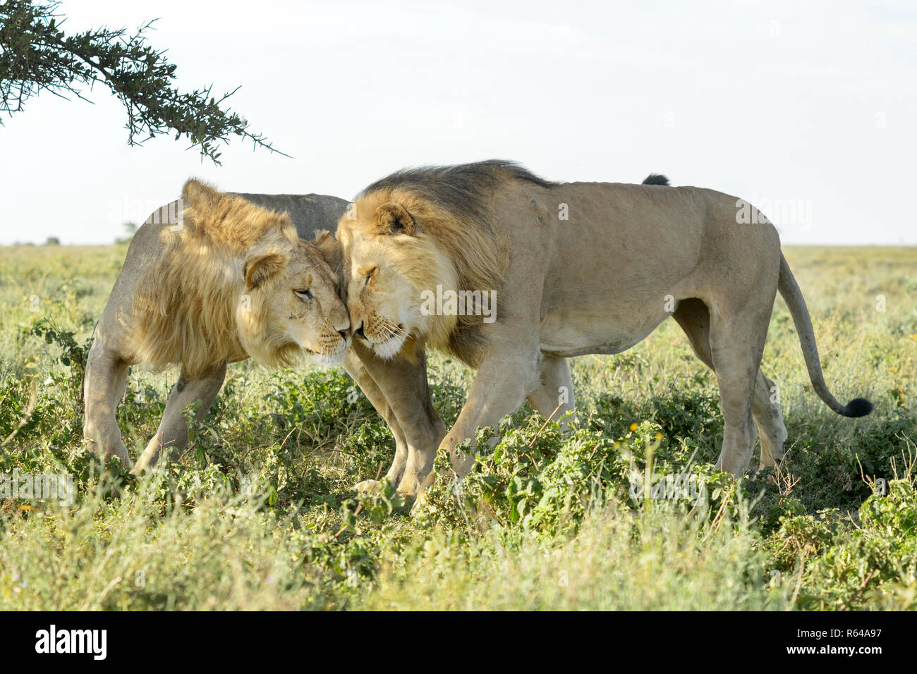 Two male lion (Panthera leo) brothers showing affection, together on savanna, Ngorongoro conservation area, Tanzania. - Stock Image