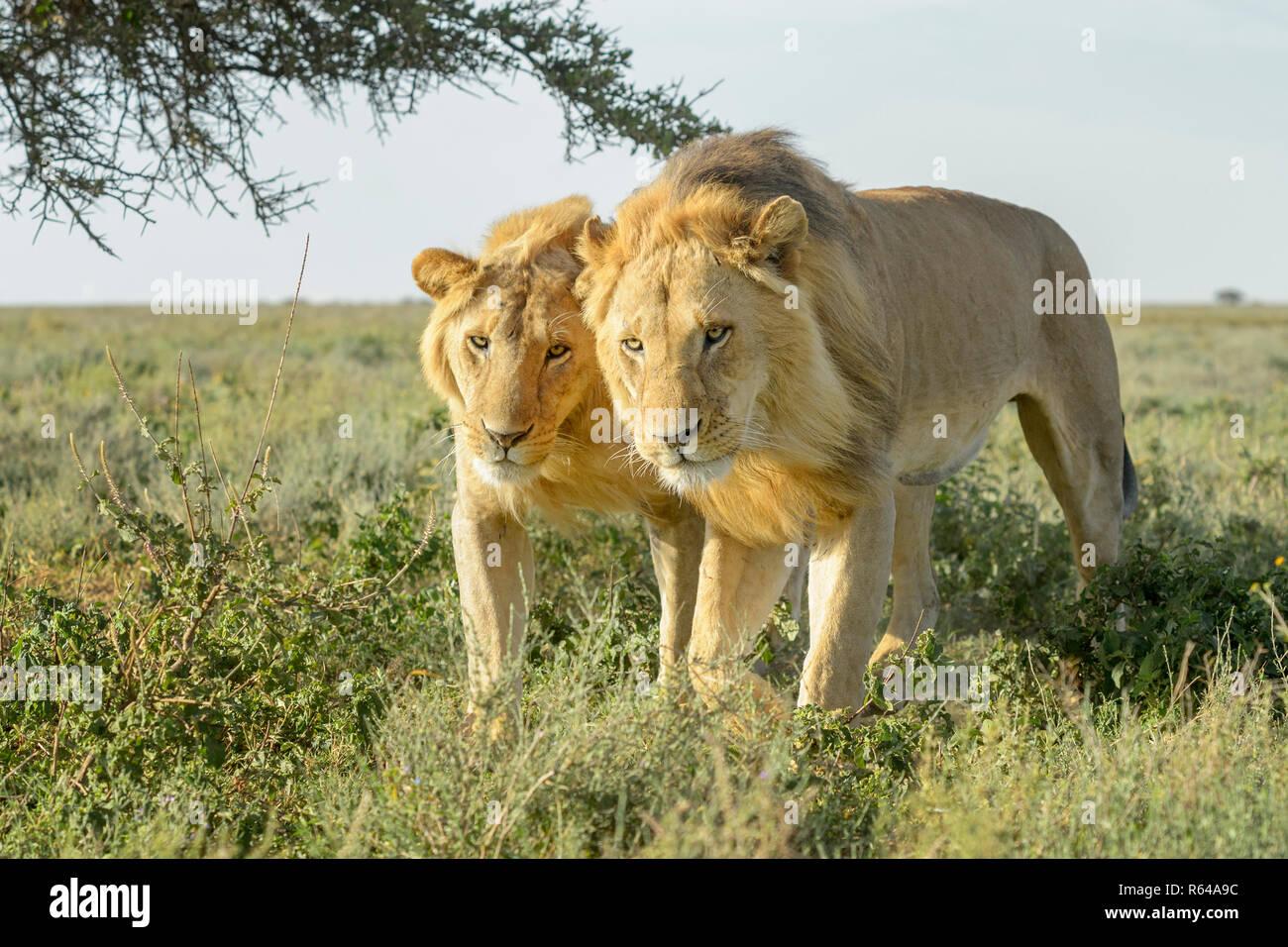 Two male lion (Panthera leo) brothers walking together on savanna, close by, Ngorongoro conservation area, Tanzania. - Stock Image