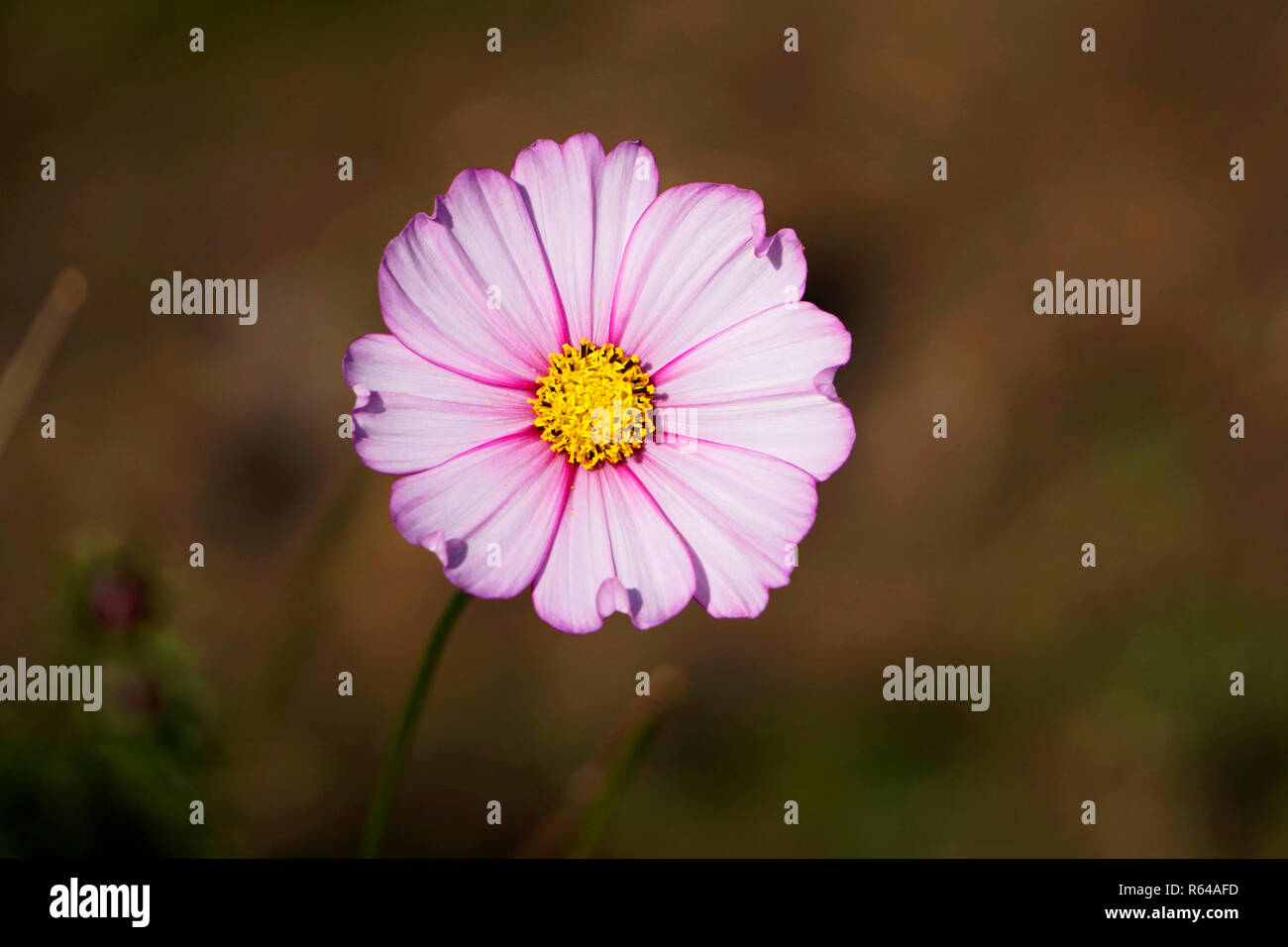 Cosmos Flower A Herbaceous Perennial Plant Or Annual Plant Stock