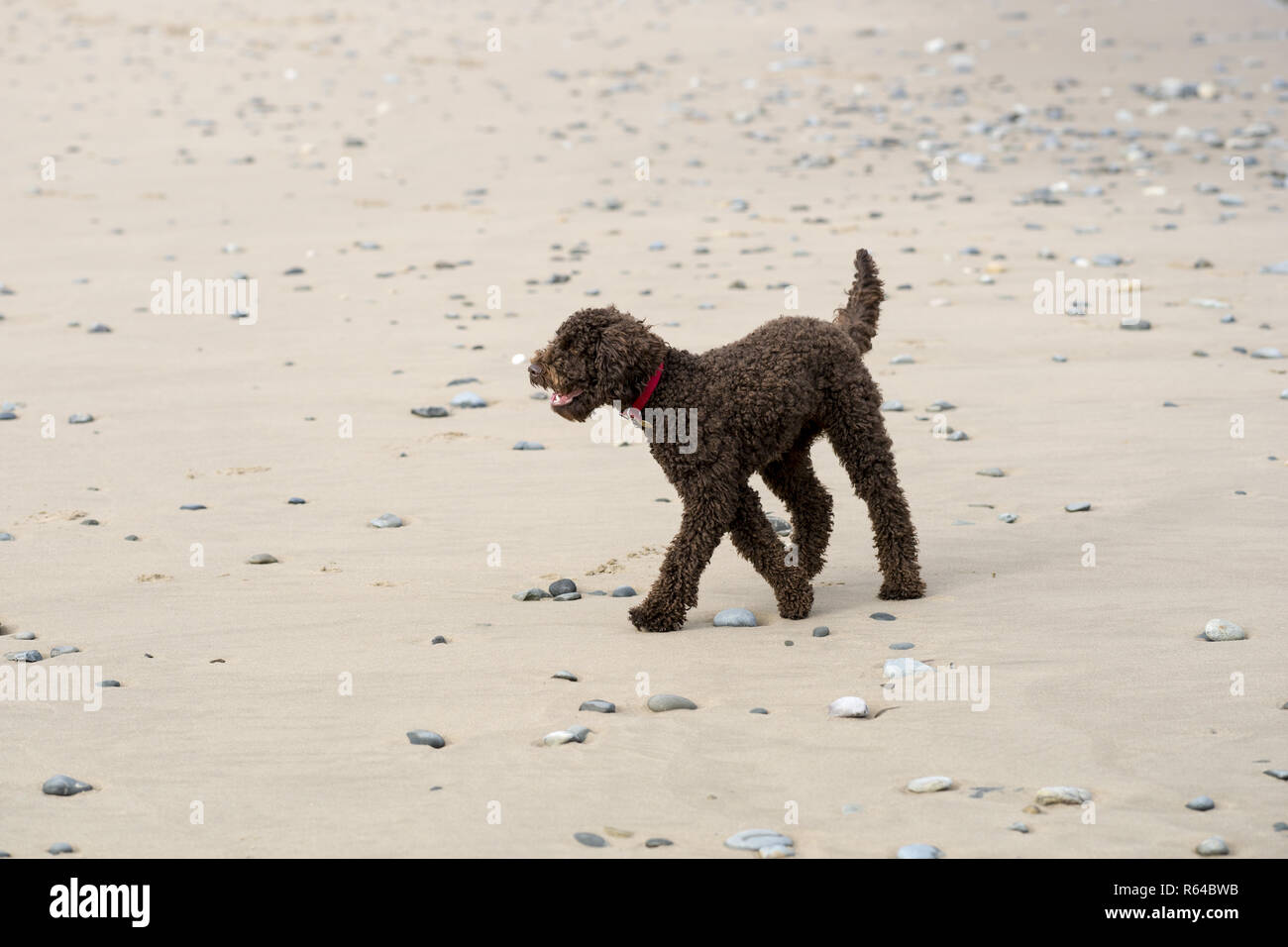 Bailey the chocolate Labradoodle is a fit and healthy dog who enjoys the beach where he can run, he is fast, and socialise with his mates. - Stock Image
