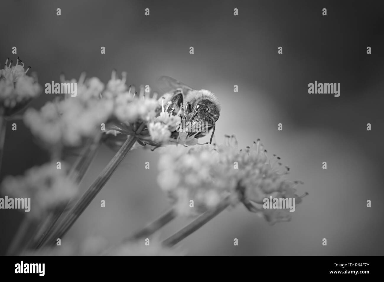 Macro of a bee sucking pollen from wild white flowers. Converted black and white. - Stock Image