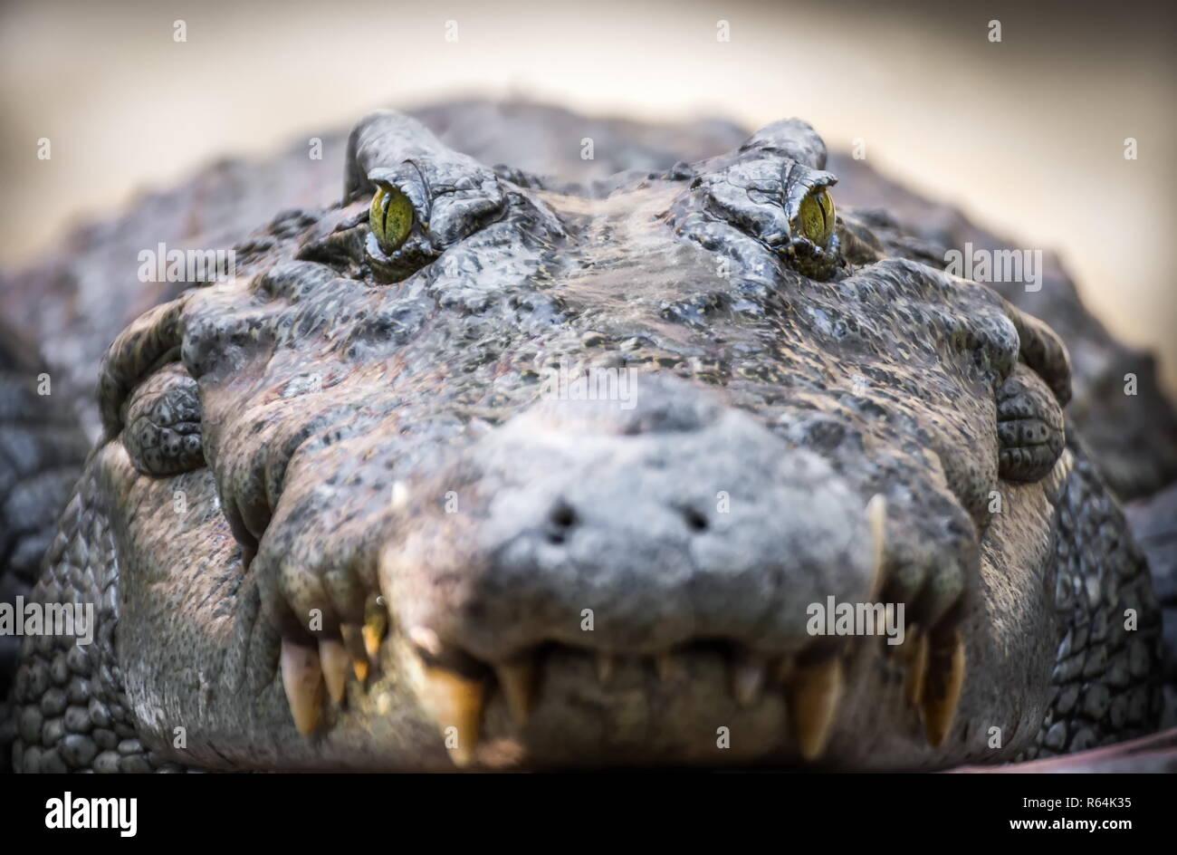 crocodile portrait close up alligator closeup - Stock Image