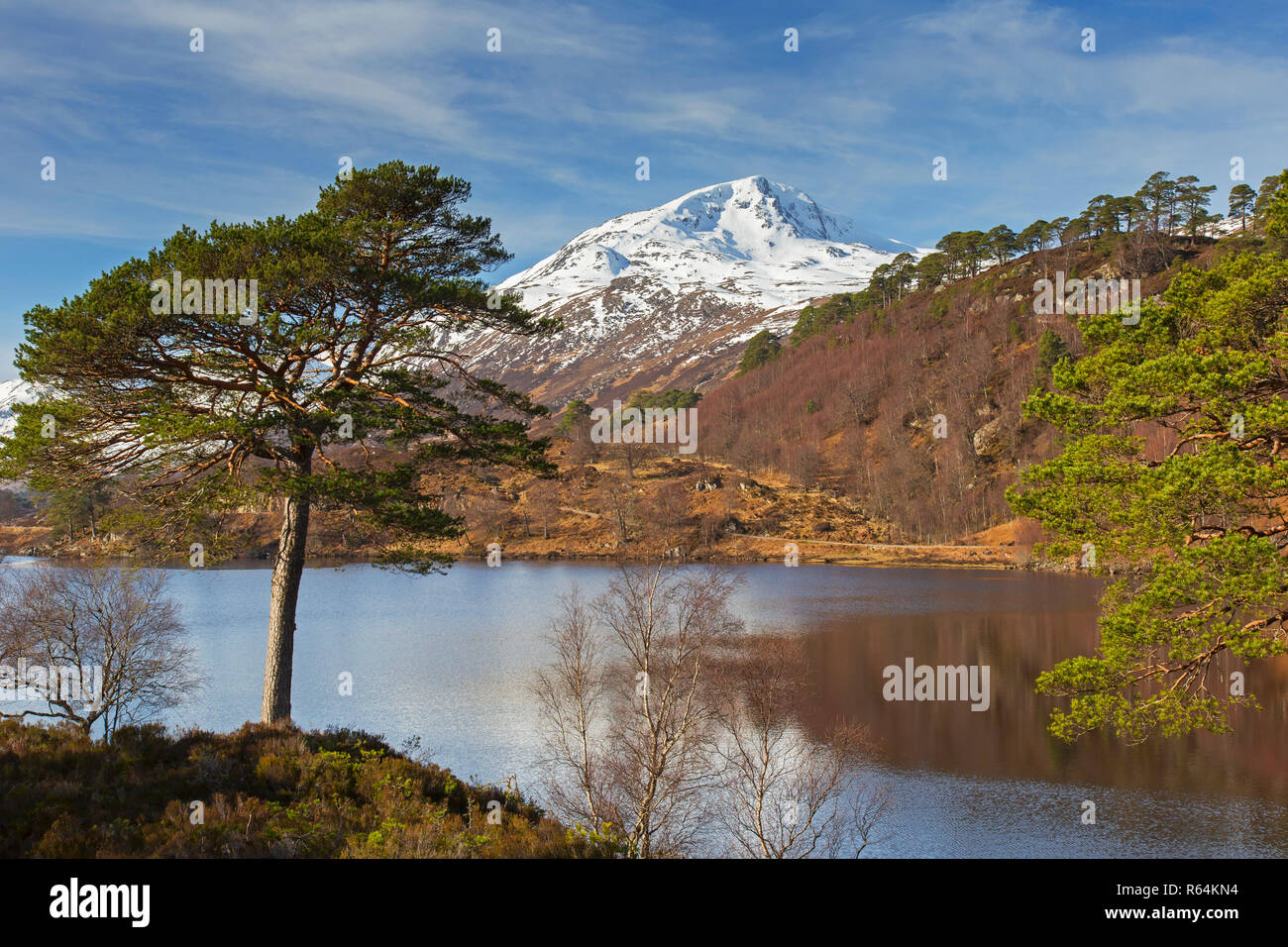 Scots pine (Pinus sylvestris) of Caledonian Forest along Loch Affric in winter, Glen Affric, Inverness-shire, Scottish Highlands, Highland, Scotland - Stock Image