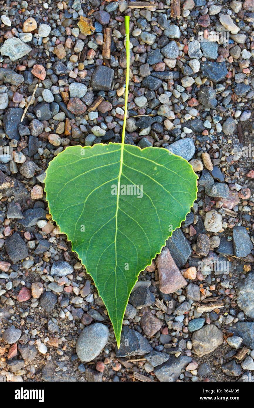 Black poplar (Populus nigra)fallen leaf on the ground in summer - Stock Image