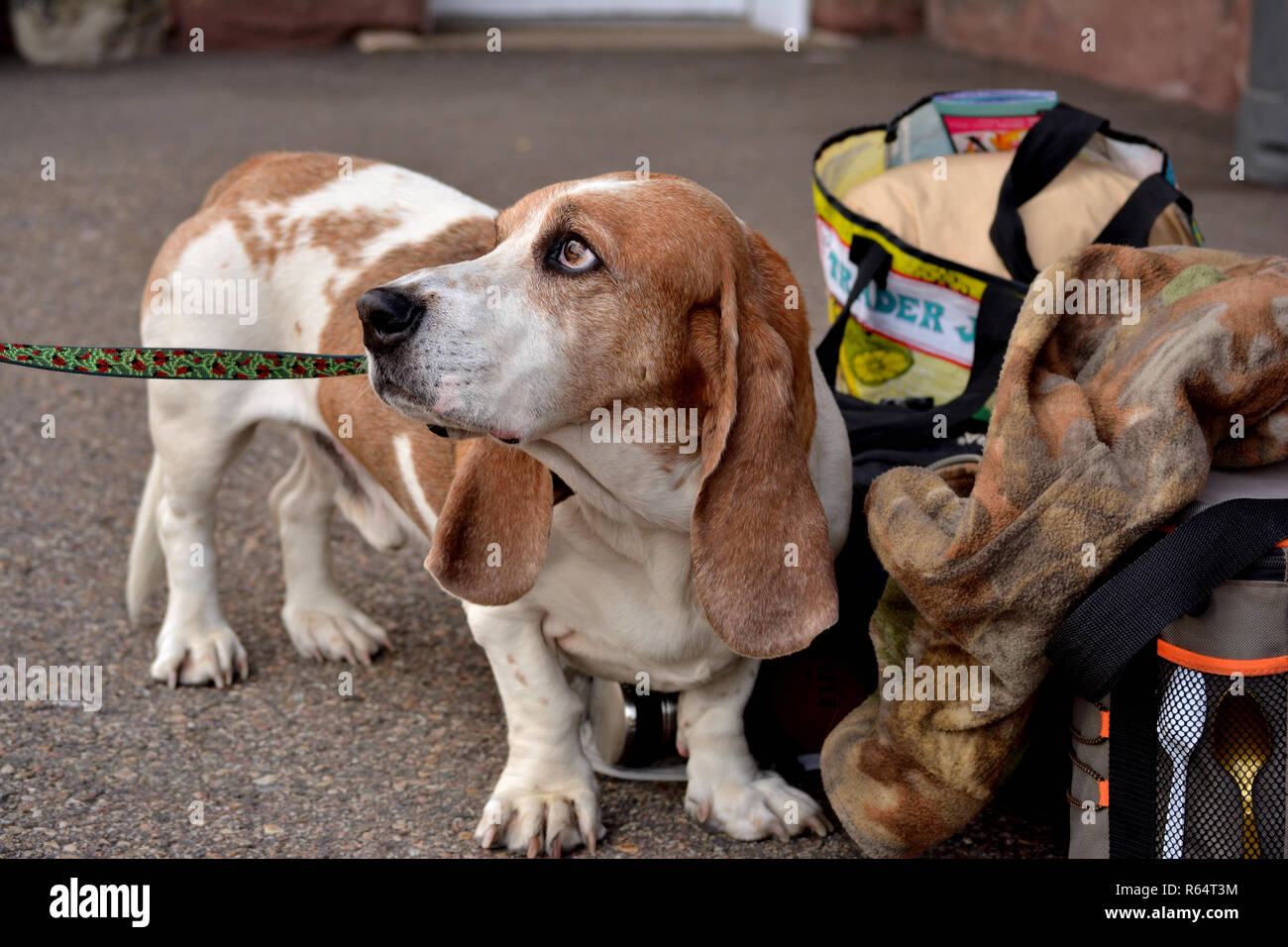 Basset hound mix waits for the train - Stock Image